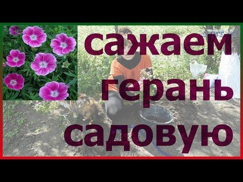 Выращивание садовой герани, перевалка герани из дома в сад и обратно