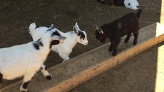 baby goats fighting in York