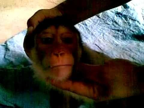 monyet ku sayang monyet ku malang