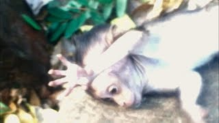 So pity! Baby Monkey Lori fall down from the tree and contract, Shy cry loudly very pity.