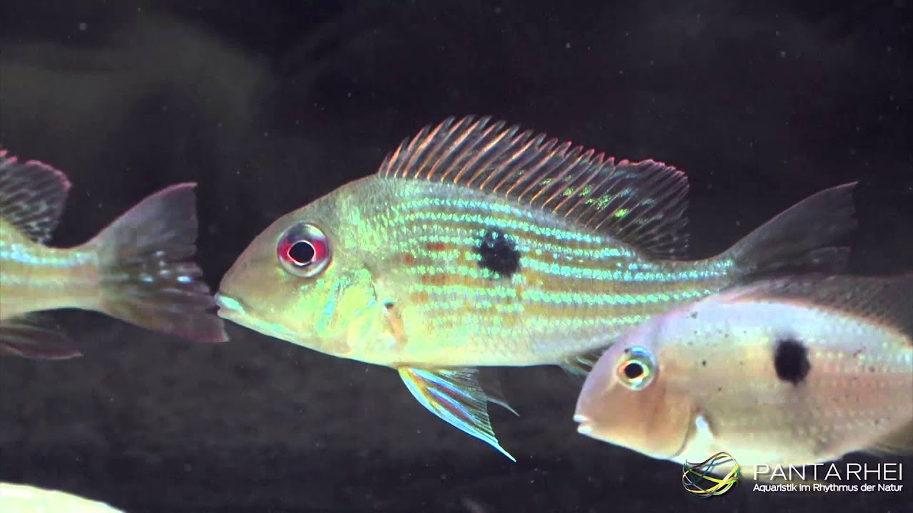 The real Geophagus surinamensis (Redstriped Eartheater) from Suriname ...