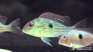 The real Geophagus surinamensis (Redstriped Eartheater) from Suriname and French Guiana.