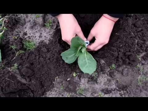 Как высаживать рассаду капусты в открытый грунт