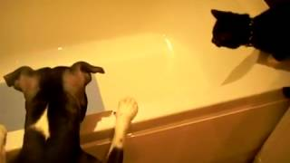 Dog pushes cat into bathtub (funny)