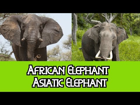 African Elephants & Asiatic Elephants - The Differences thumbnail