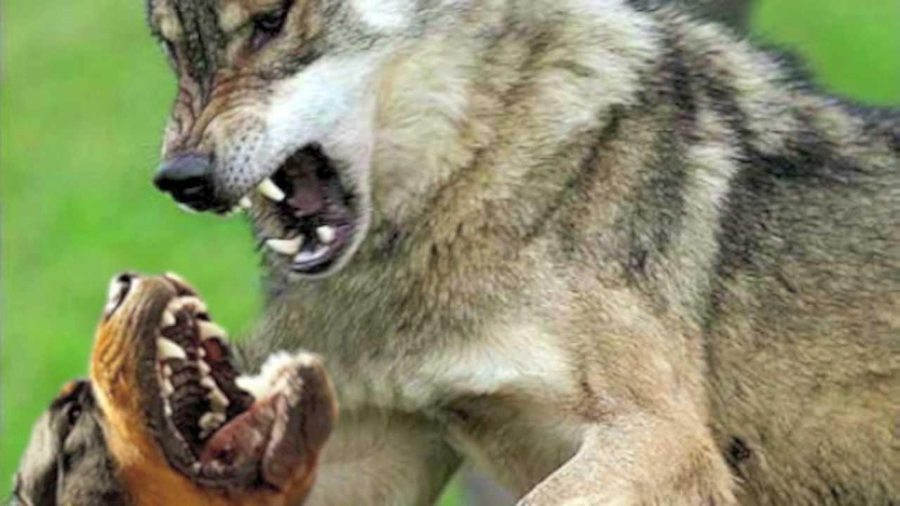 WOLF VS. ROTTWEILER!!! NEW!!! - YouTube