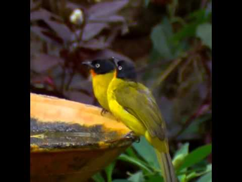 Burung di alam liar (kutilang emas)