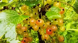 Выращивание смородины из ягоды 14