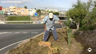 Un vecino planta un huerto de papas y lechugas en una rotonda