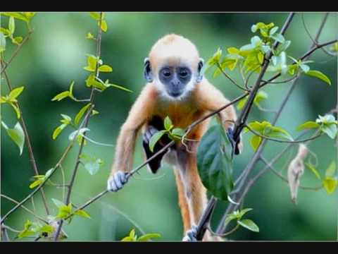 critically endangered primates
