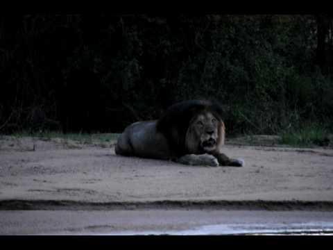 Mad Lion Roaring On Safari video