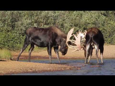 BIG BULL MOOSE RUT  FIGHTING  2013  HD