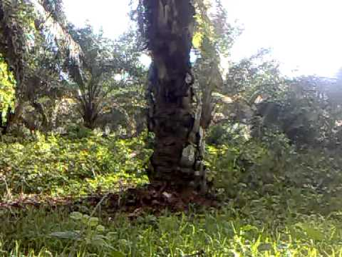 Ayam Hutan Pikat Betina.mp4 video