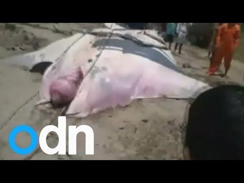 Fishermen in Peru catch GIANT 26ft manta ray