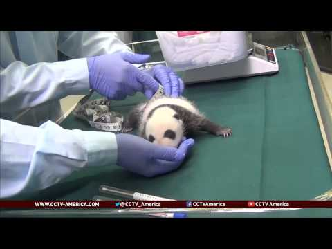 China's panda triplets are one month old