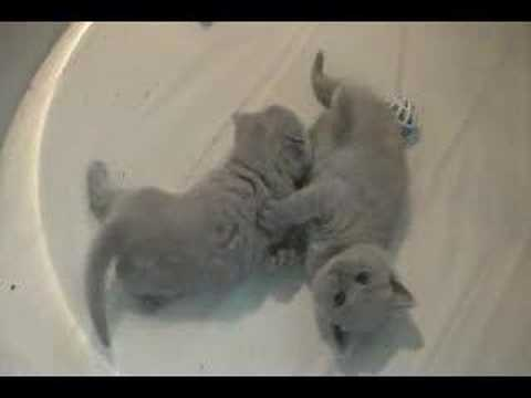 British Shorthair kittens Video