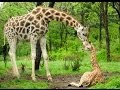 Hươu cao cổ con chào đời ở Vườn thú Bronx, New York