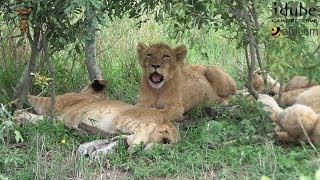 Daughters Of The Mapogo Lions - Rebuilding The Othawa Pride - 28: Lazing Around #youtubeZA