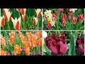 Edwards Gardens 郁金香和水仙的季节
