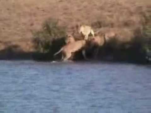 Búfalos Salvam Um Filhote de Leões - Instinto Materno