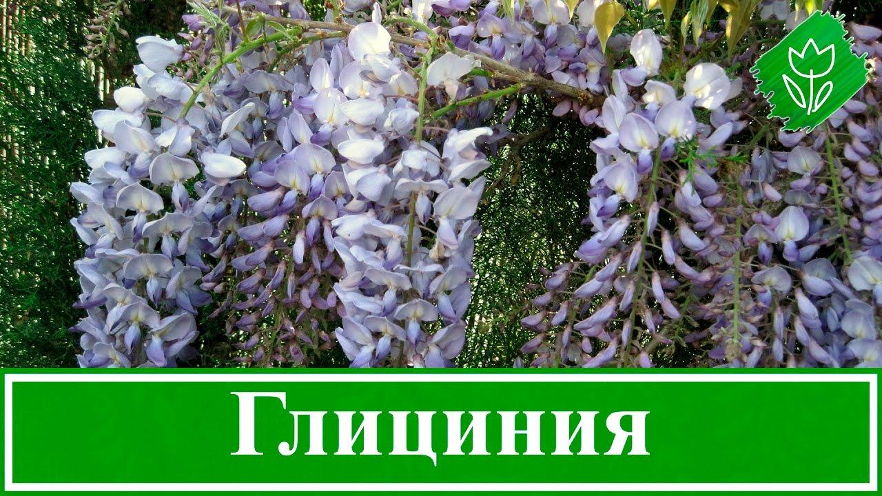 Глициния выращивание размножение 91