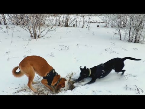 Fighting Dogs Funny Videos - Funny Aanimals & Dogs - New funny Videos 2019