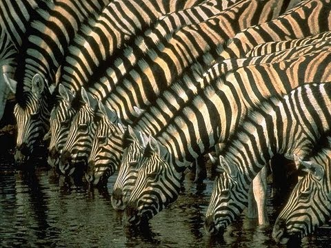 How the Zebra got its Stripes - Professor Andrea Sella
