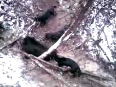 Slovensky kopov - polovacka na diviaky