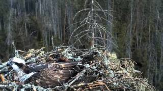 Kalakotkas 2 - Osprey nest, Estonia 9th May 2013 20.46 Irma lays her 1st egg (Egg visible at 20.51)