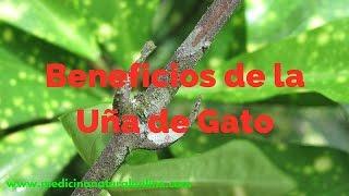 LA UÑA DE GATO - BENEFICIOS - LAS PLANTAS CURATIVAS