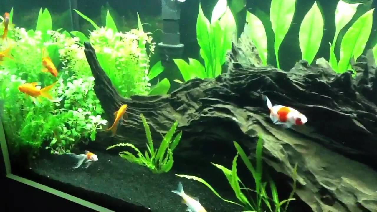 Planted tank with koi and goldfish youtube for Koi fish tank setup