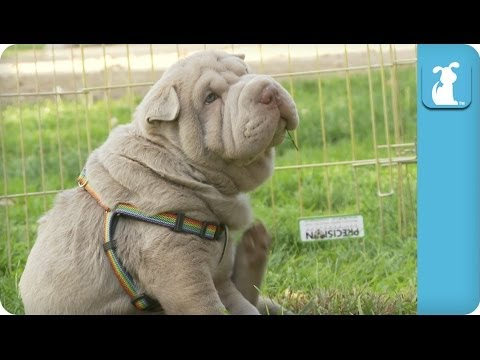 Wrinkly Shar Pei Puppy Gives Himself a Good Scratch - Puppy Love