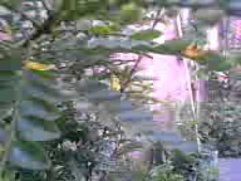 kepergok mesum di kebun