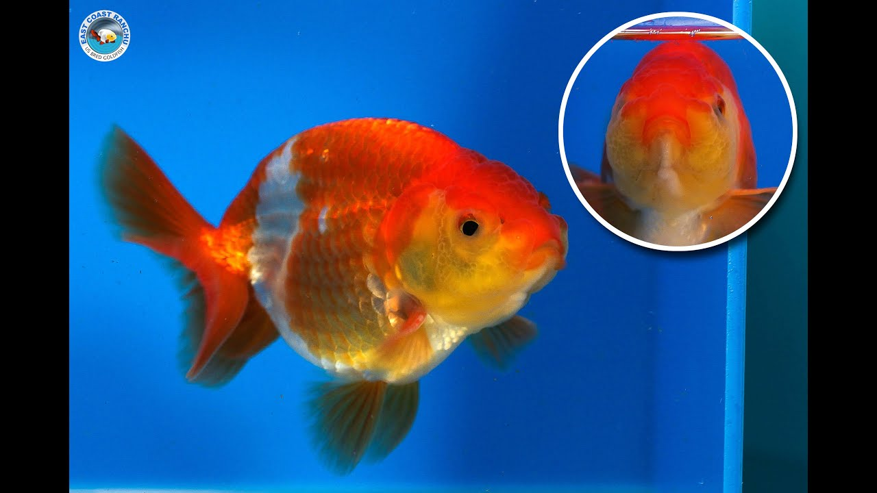 Ranchu goldfish for sale fb845 youtube for Gold fish for sale
