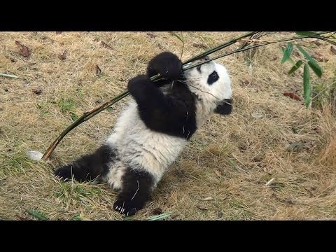 Panda baby playing with bamboo   大熊猫 パンダ 成都
