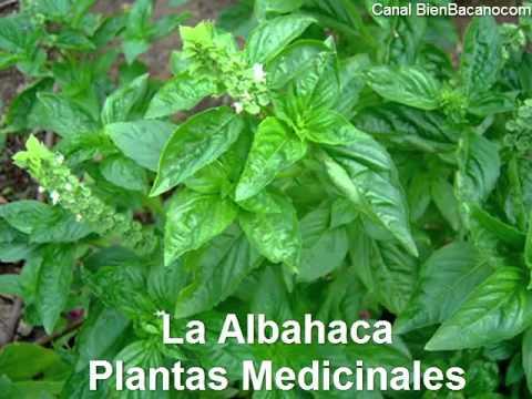 planta medicinal albahaca - YouTube