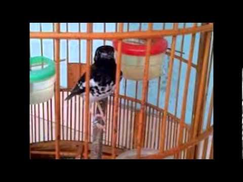 Tips Membeli Burung Anis Kembang | Punglor Yang Bagus video