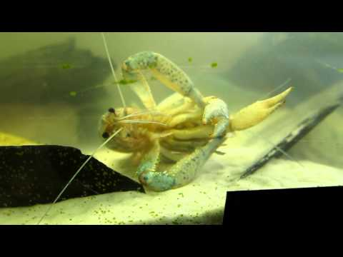 Fresh Water Aquarium Blue Lobsters Mating