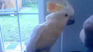 "Cockatoo singing ""Who let the Dogs out"" von Baha Men"