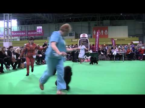Crufts Miniature Poodles 2014