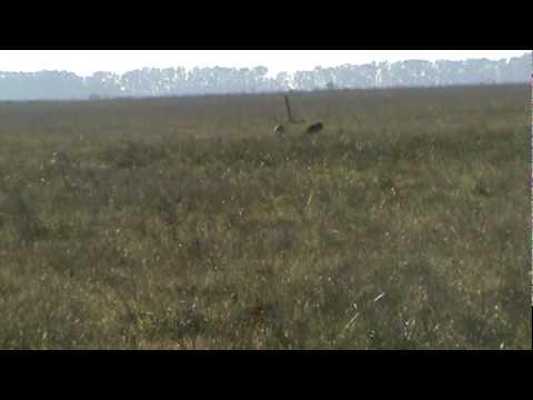 Guacho y la Balla.Galgos cazando liebres.MPG