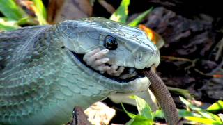 Black Mamba killing Rat 01 - Snake Eats Rat