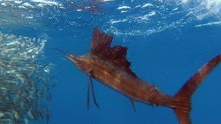 download lagu Sailfish Are Master Hunters - Planet Earth - Bbc gratis