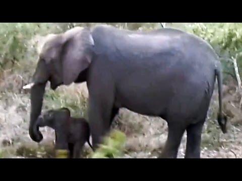 Elephant Coming Back To Life - Latest Wildlife Sightings