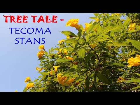 Watch How to Prune Tecoma stans video