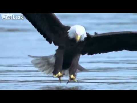 Eagles Hunting Fish Eagle Catches Fish High