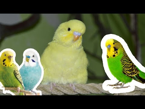 Dünyanın EN GARİP 10 Muhabbet Kuşu TÜRÜ