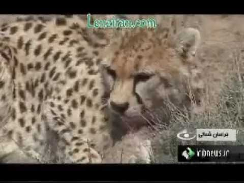 Report about wild life and the Asian cheeta in Iran