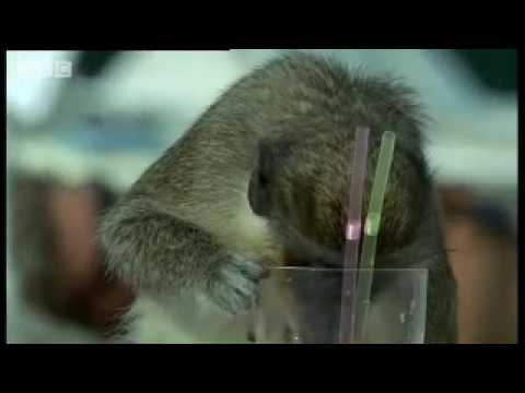 Alcoholic Vervet Monkeys! - Weird Nature - BBC animals Video
