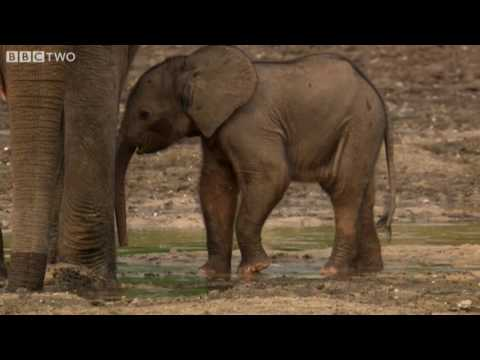 Protecting From Poachers - Natural World: Forest Elephants - Highlight - BBC Two